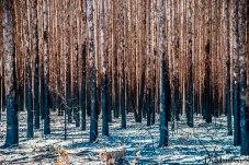 Plantação de eucalipto queimada
