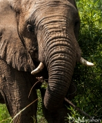 Muito próximo ao elefante comendo.
