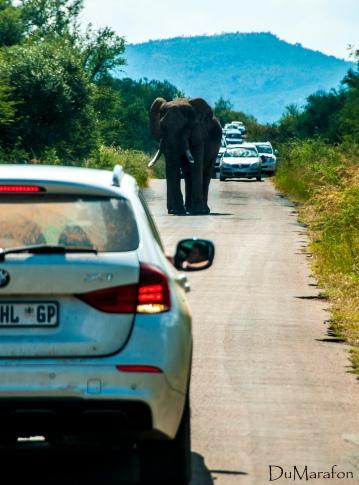 O carro dando ré para fugir do elefante.